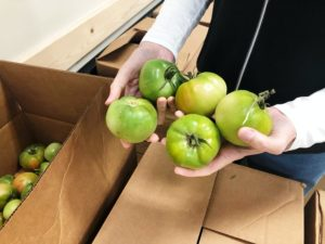 Hands holding several fresh green tomatoes